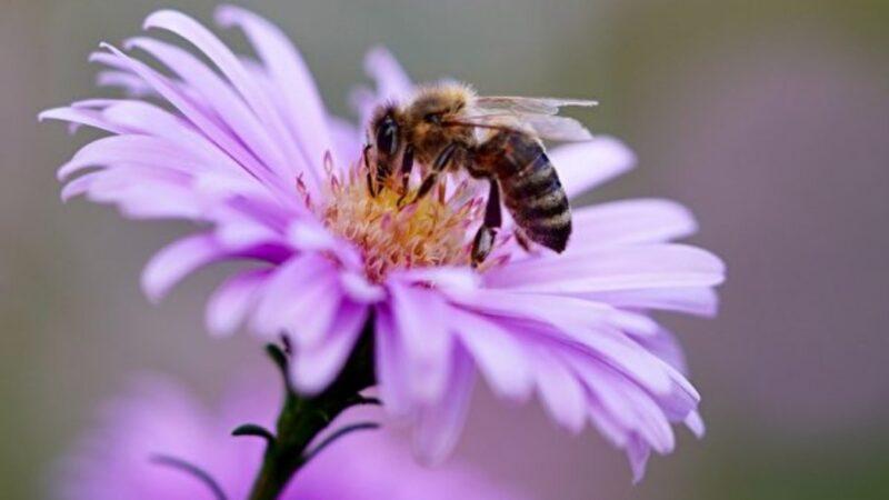 科學家訓練蜜蜂嗅出中共病毒 幾秒可知結果