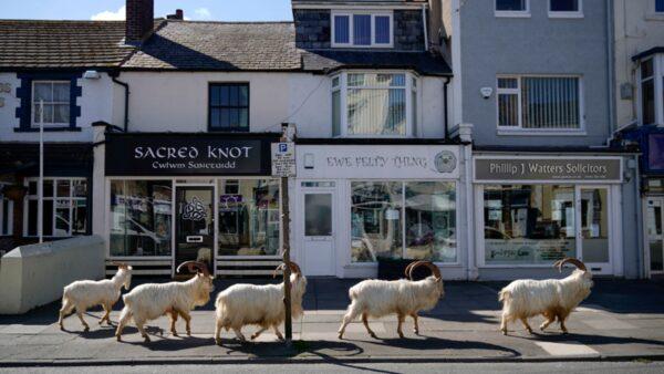 野山羊趁疫情攻入英国小镇 将被关入幽灵古堡