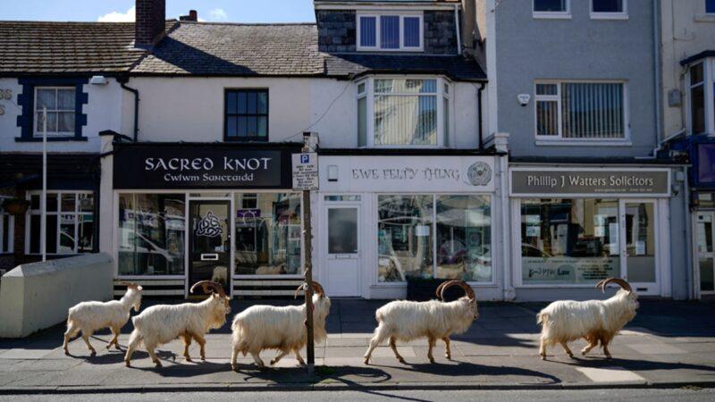 野山羊趁疫情攻入英國小鎮 將被關入幽靈古堡