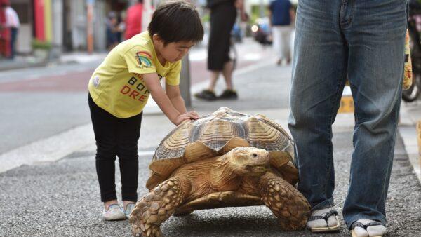 140斤大乌龟可当马骑 老人每天带它上街散步(组图)