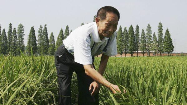 袁隆平為何研究雜交水稻?黨媒造假被抓包
