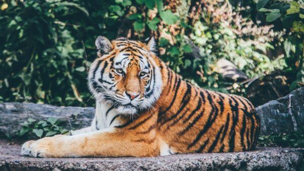 三天兩起 安徽河南老虎咬死飼養員 出逃虎被擊斃