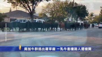 南加牛群逃出屠宰厂 一乳牛冲撞路人遭枪毙