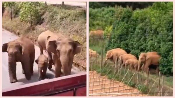 大象在昆明逛大街 口渴擰開水龍頭暢飲