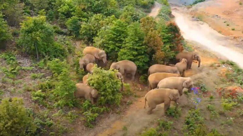 栖息地遭破坏被迫北迁 云南象群反成中共宣传工具