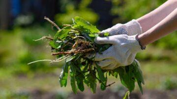 自製7種天然除草劑 園藝維護好幫手快速有效