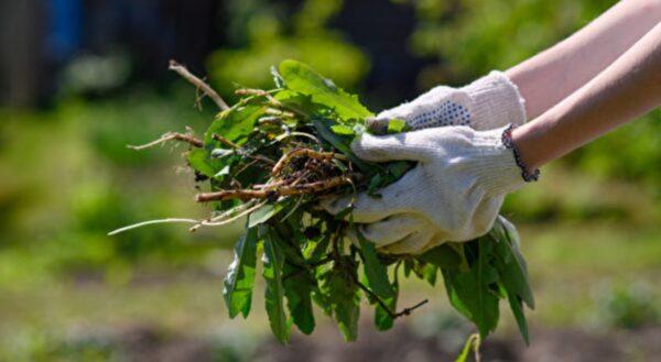自制7种天然除草剂 园艺维护好帮手快速有效