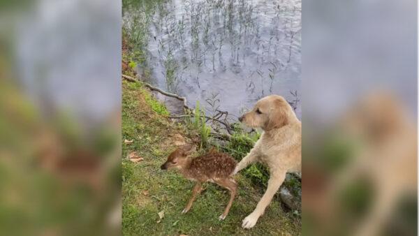 奇!金毛犬救溺水小鹿 隔天母鹿携子前来道谢
