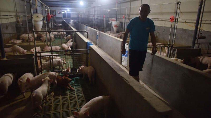 中共计划经济恶果:猪价急跌 养猪户破产跳河