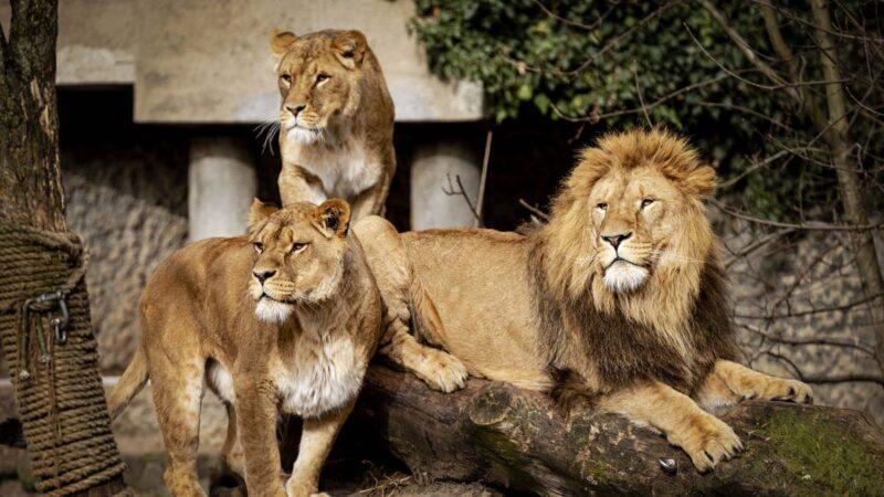 印度9隻獅子感染中共病毒 1隻已死