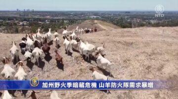加州野火季暗藏危机 山羊防火队需求暴增