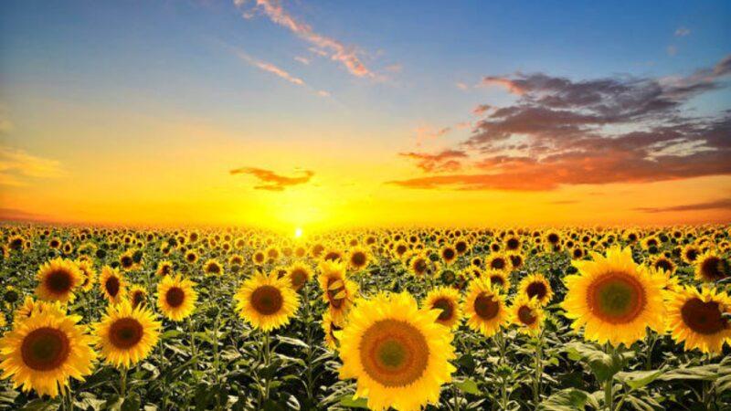 研究顯示植物也會「日出而作」