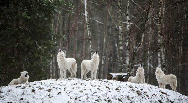 冰天雪地遇到飢餓狼群後發生的奇蹟