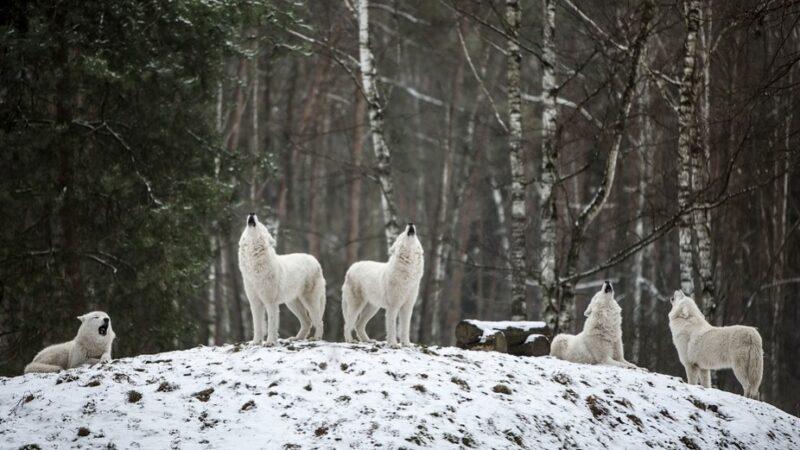 冰天雪地遇到饥饿狼群后发生的奇迹