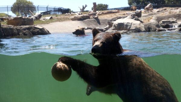 热浪来袭 加州黑熊一家与游客一起湖泊消暑