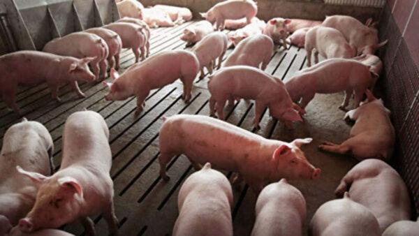 中國毛豬價格持續走低 養豬戶或虧損更多