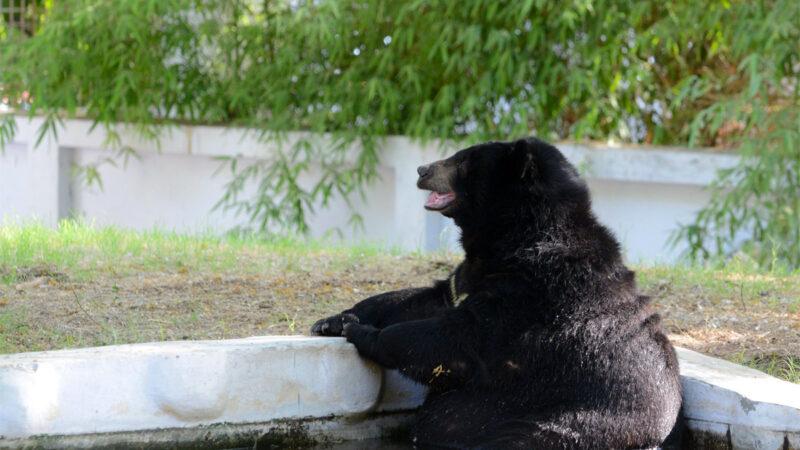 奧運首場日澳壘球戰前 一隻黑熊來巡視