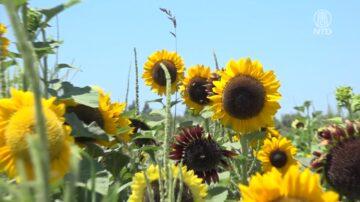 北加州向日葵盛开 游客顶烈日赏花