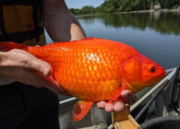 小金魚野放變「巨無霸」 美國湖泊生態受威脅