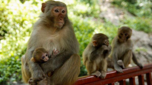 中国又出怪病 首现人类感染猴B病毒致死病例