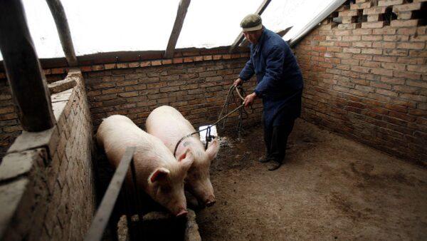 大陸官員:非洲豬瘟出現變種 防控形勢很複雜