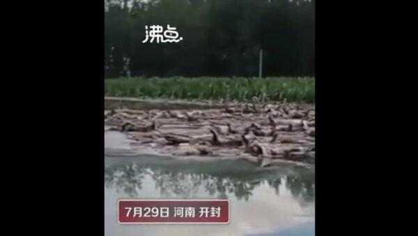 河南大雨養豬場被淹 上千死豬河上漂視頻曝光(慎入)