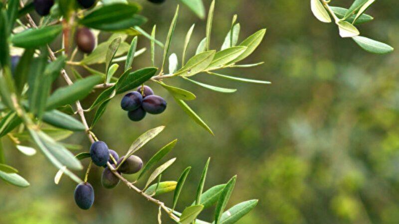 奧運漫談:神賜予榮耀 橄欖的傳說