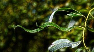 民间出天子的异象 桑树如华盖 虫蚀柳叶出文字