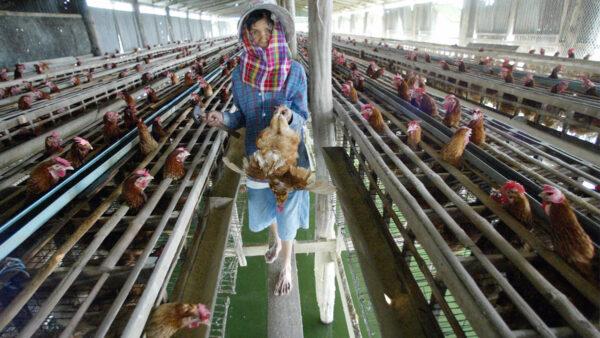 朝鮮熱浪凶猛 僅一省就有10萬牲畜死亡