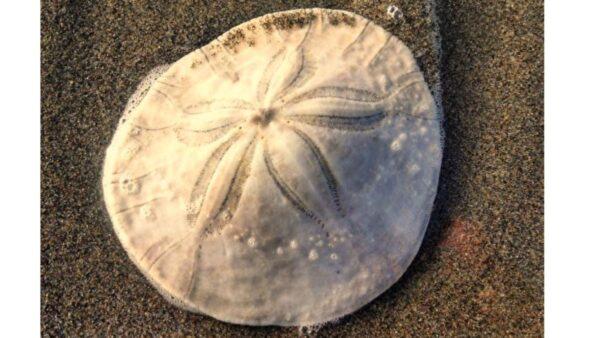 數以千計的「沙錢」沖上美國海灘 專家不解