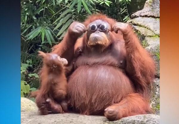 一脸酷样 红毛猩猩戴太阳眼镜影片爆红