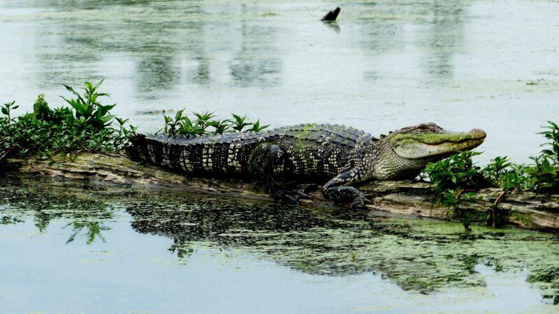 女饲育员遭鳄鱼狠咬不放 男子跳入水池搏斗救人