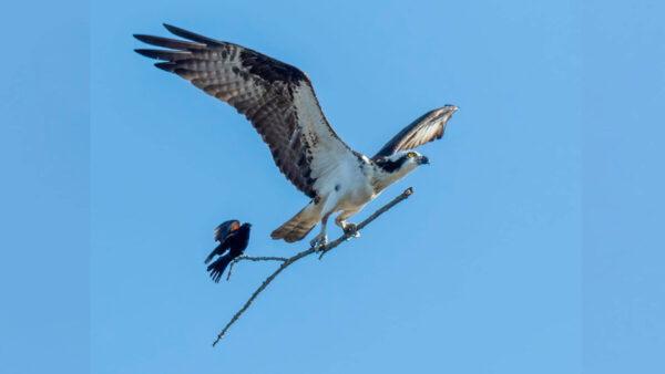 攝影師捕捉到有趣畫面:小鳥搭順風車