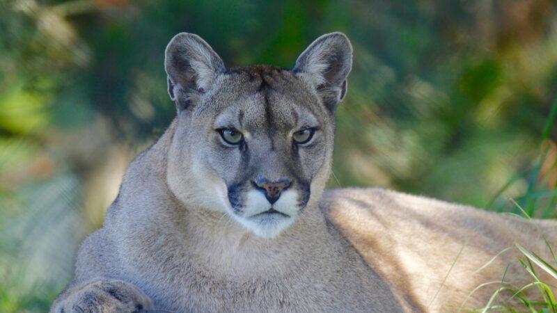 5岁男童遭美洲狮狠咬拖行 母徒手搏斗救儿一命