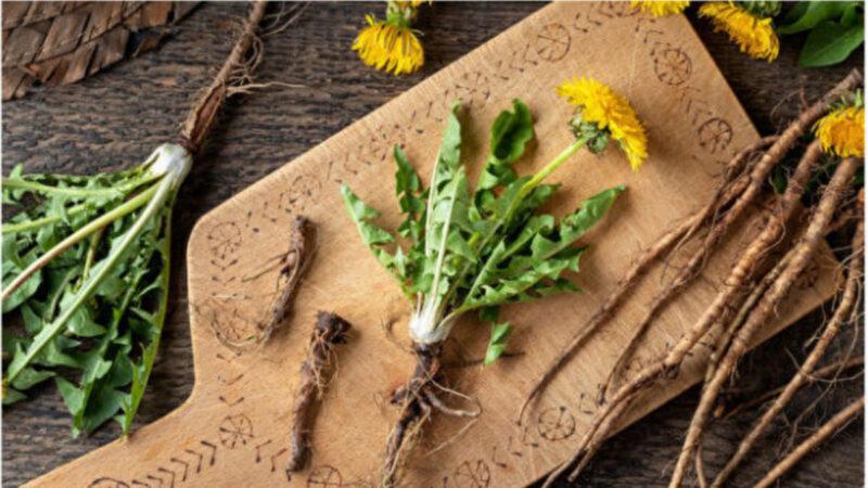 雜草變藥草!自製蒲公英茶助消化、增強免疫力
