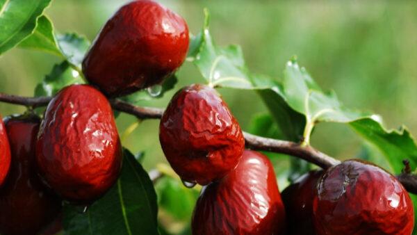 常吃红枣助远离疾病 3种食谱简单易做