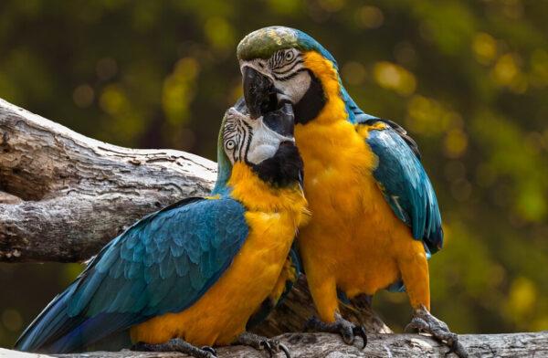 真实故事:鹦鹉夫妻的患难真情