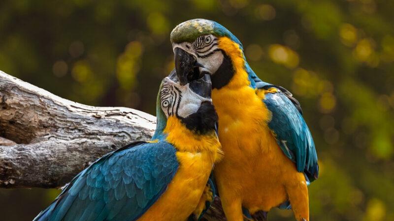 真實故事:鸚鵡夫妻的患難真情