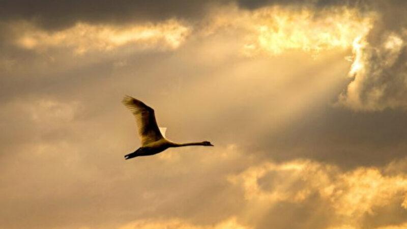 史上一只黑天鹅预告一场巨变 五行学说解玄奇