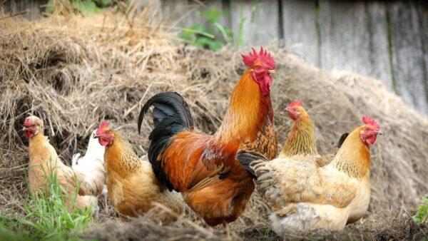 東莞男子感染H5N6禽流感 四川兩個月前也現病例
