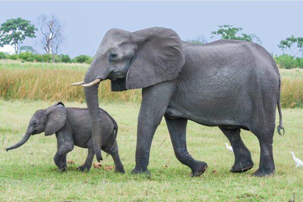 """获救孤儿小象谢恩 野放多年后带娃""""回娘家"""""""