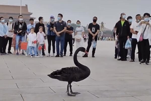 苦胆:黑天鹅两题
