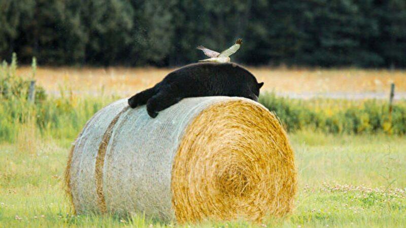北鷂與黑熊同框 加拿大攝影師拍下罕見一幕
