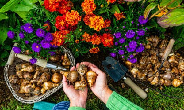 5種秋季種植的花 讓來年春夏庭院繽紛燦爛