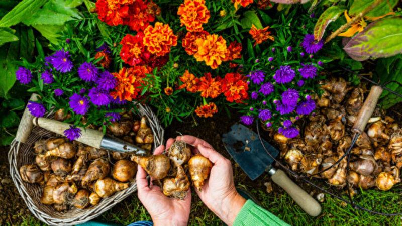 5种秋季种植的花 让来年春夏庭院缤纷灿烂