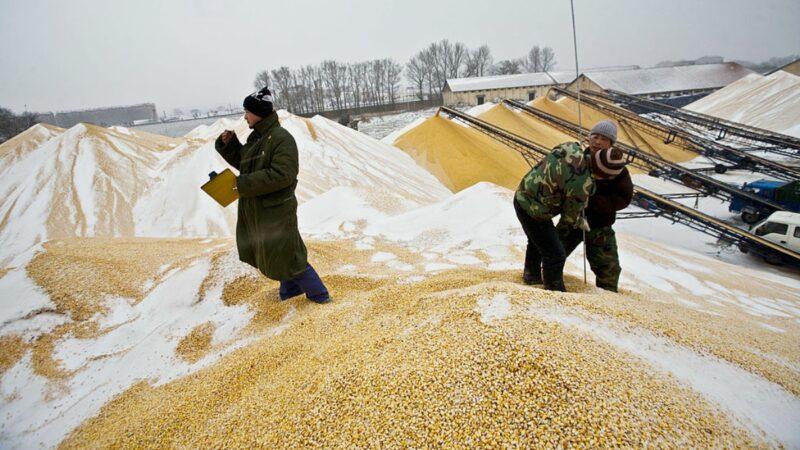 能源危機觸發連鎖效應 中國恐面臨糧價飆漲