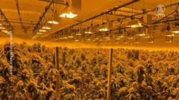 北加破獲非法大麻種植 沒收千萬現金