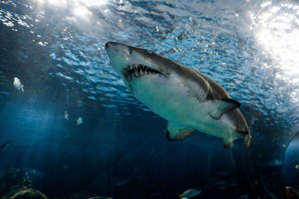 大腿被咬血染大海 他猛击鲨鱼脸部成功逃生