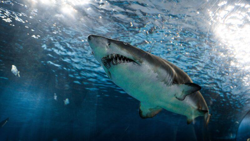 大腿被咬血染大海 他猛擊鯊魚臉部成功逃生