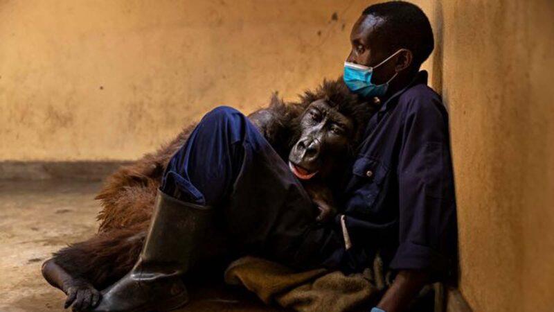 大猩猩也懂感恩?臨終前擁抱一生的恩人